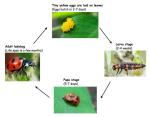 Ladybug%20life%20cycle
